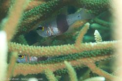 BD-111129-Raja-Ampat-5592-Archamia-zosterophora-(Bleeker.-1856)-[Blackbelted-cardinalfish].jpg